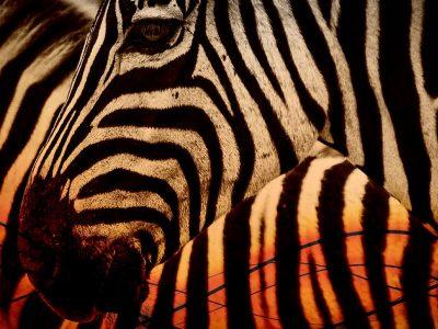 zebra-2336178_960_720